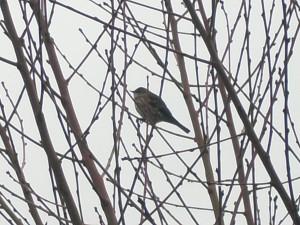 Audubon's Warbeler