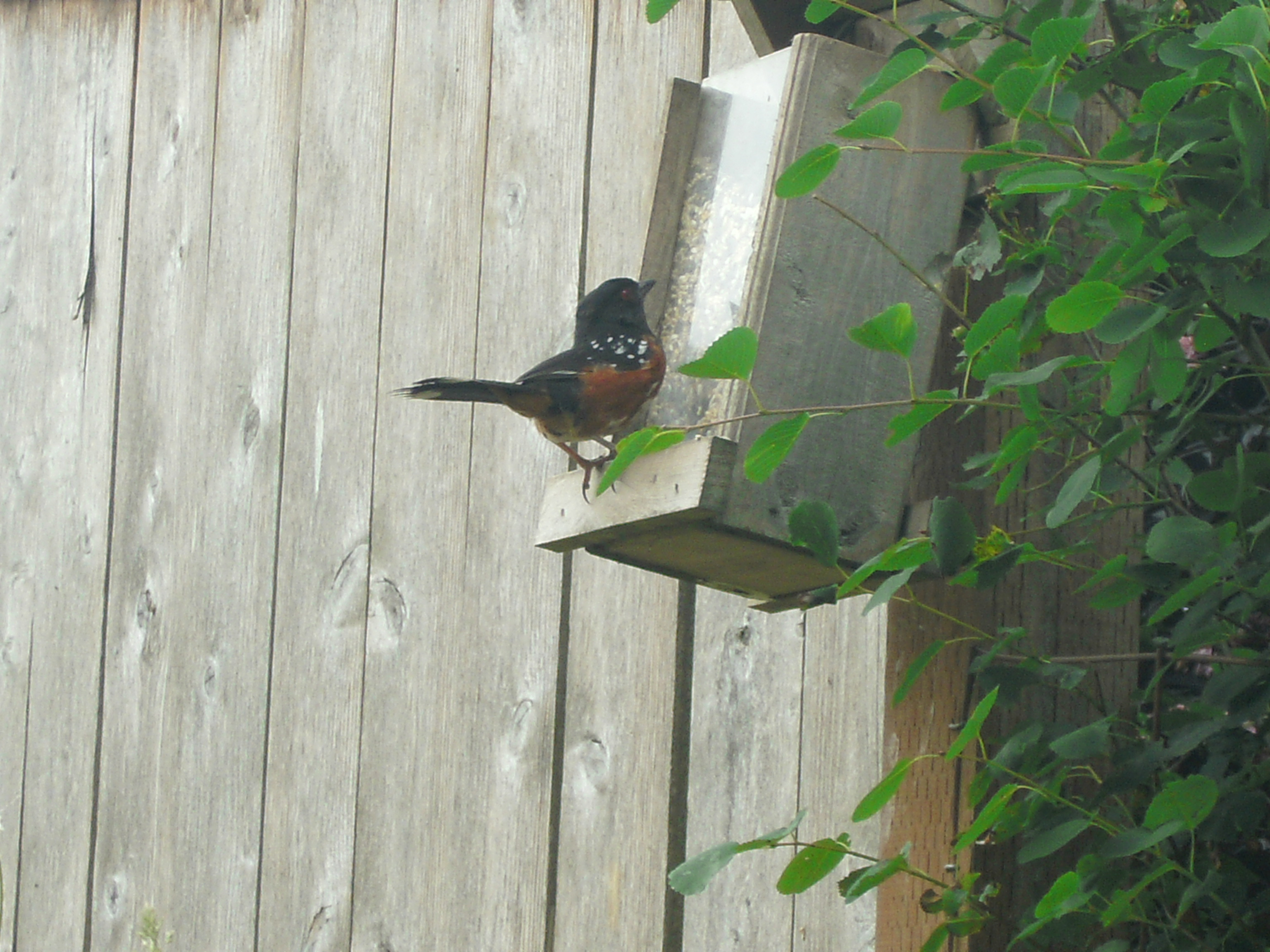 A Spotted Towhee at my seed feeder