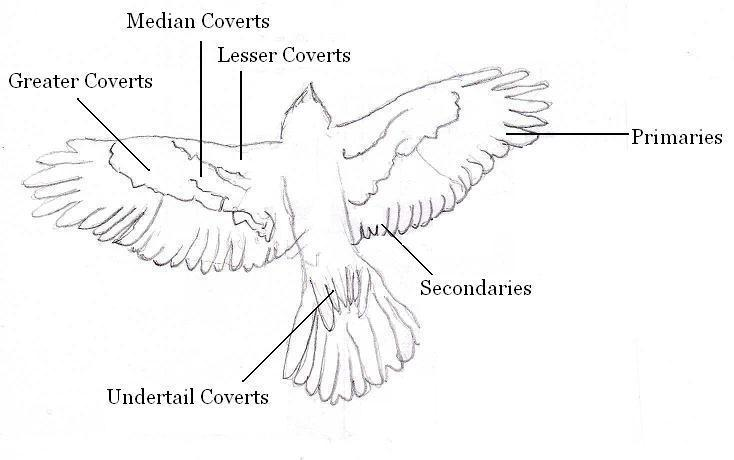 feather diagram